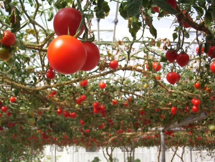 Huge Tomato Plant