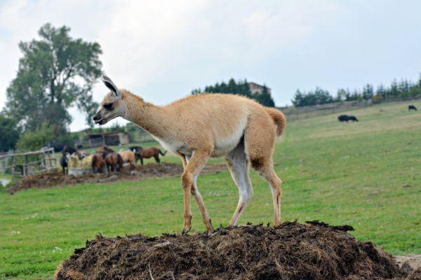 Llama manure