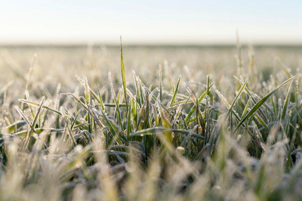 Grain frost