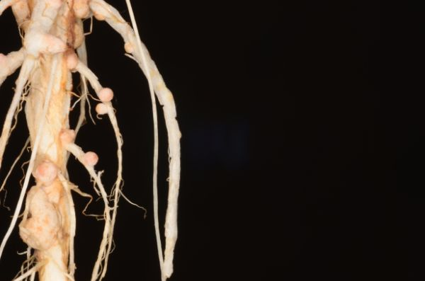 Rhizobium nodules