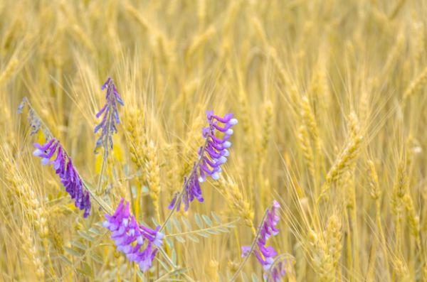 Wheat vetch