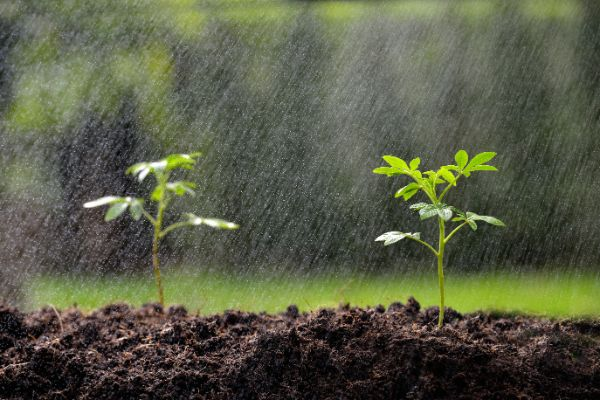 Rain on seedlings
