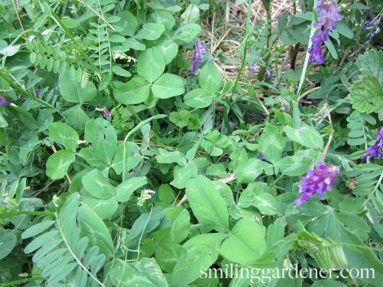 Cover Crops For Gardens - Clover And Vetch