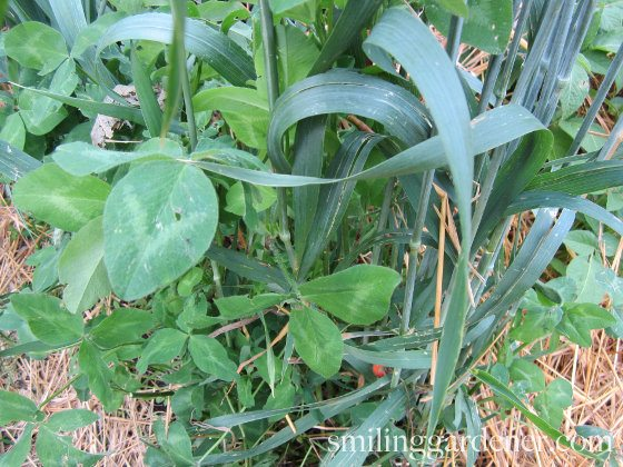 Cover Crops For Gardens Build Soil And Control Pests