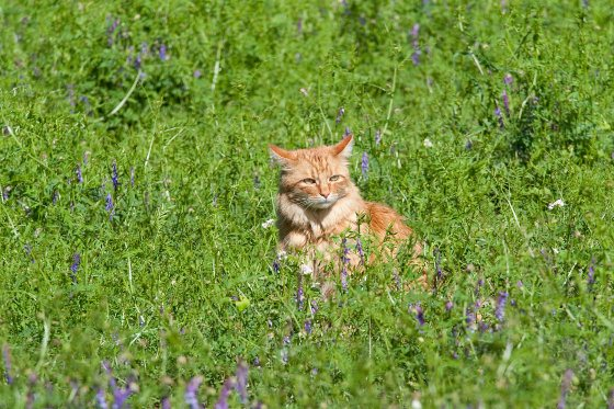 Vetch Cover Crop With Cat