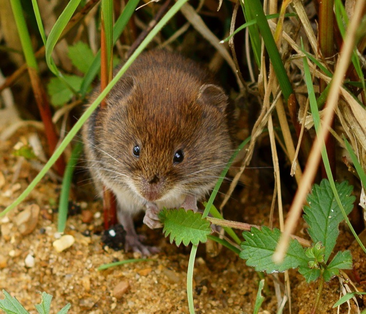 How To Get Rid Of Moles And Voles And Gophers