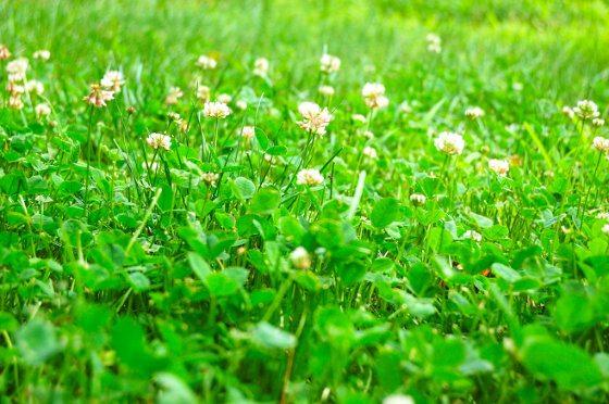Organic Weed Control Of Dandelions
