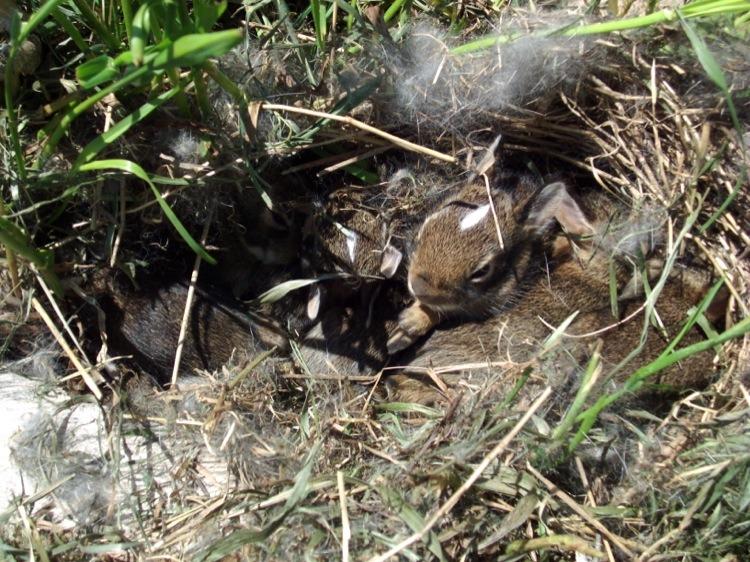 Rabbit nest