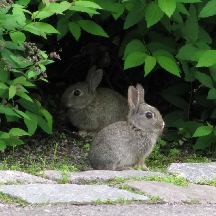 Two rabbits in a bush
