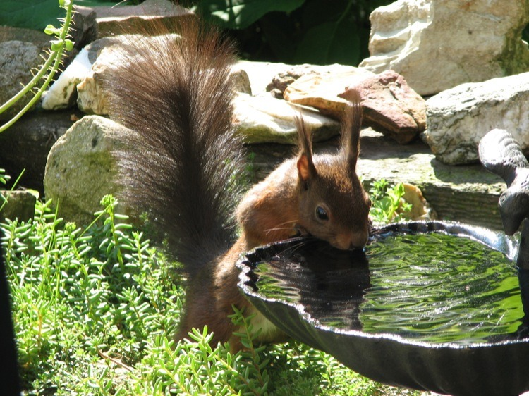 Drinking Squirrel