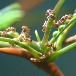 Plant Defenses - Acacia Ants