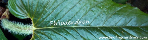 Philodendron Organic