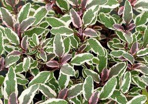 Salvia Silver Sabre