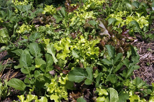 Companion Planting With Lettuces