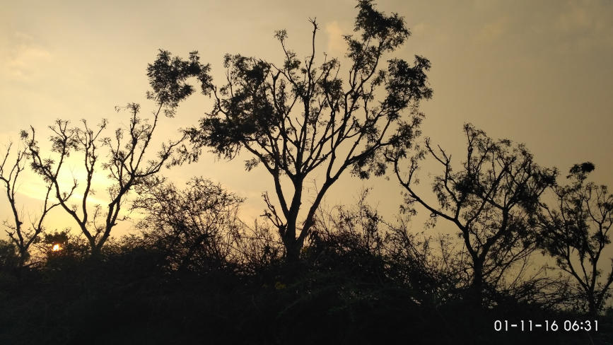 Neem trees at sunrise