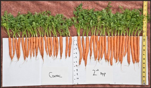 Sea Minerals Fertilizer On Carrots