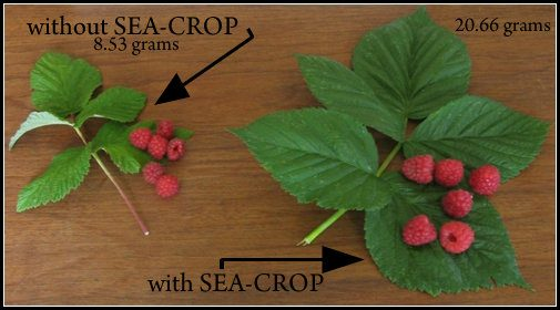 Sea Minerals Fertilizer On Raspberries