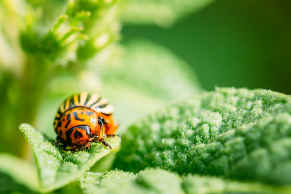 Potato Bug On Leaf